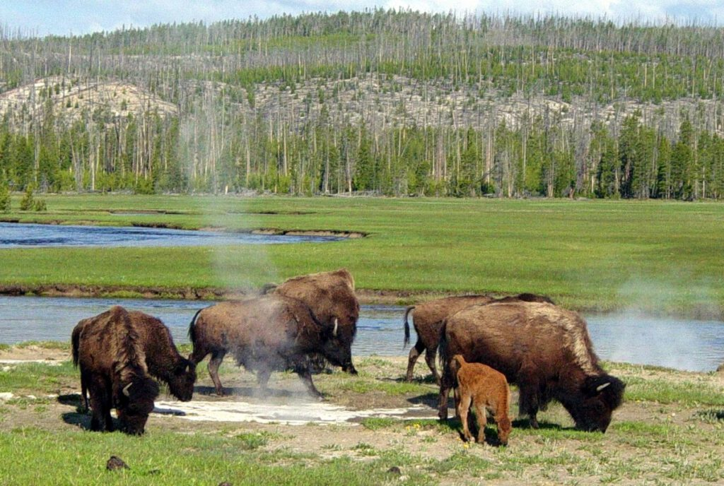 yellow stone bison